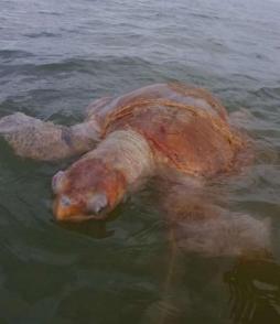 Une tortue caouanne, espèce rare en Guyane, trouvée morte dans un filet